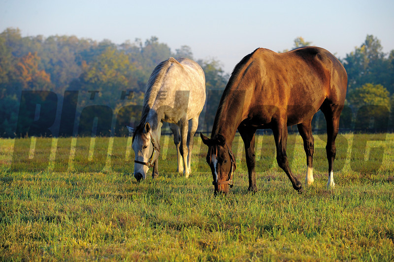 Zenyatta, right, at Lane's End Farm, early morning on Oct. 5, 2011, near Versailles, Ky. Her field buddy Tasty Temptation is on left.<br /> Photo by Anne M. Eberhardt