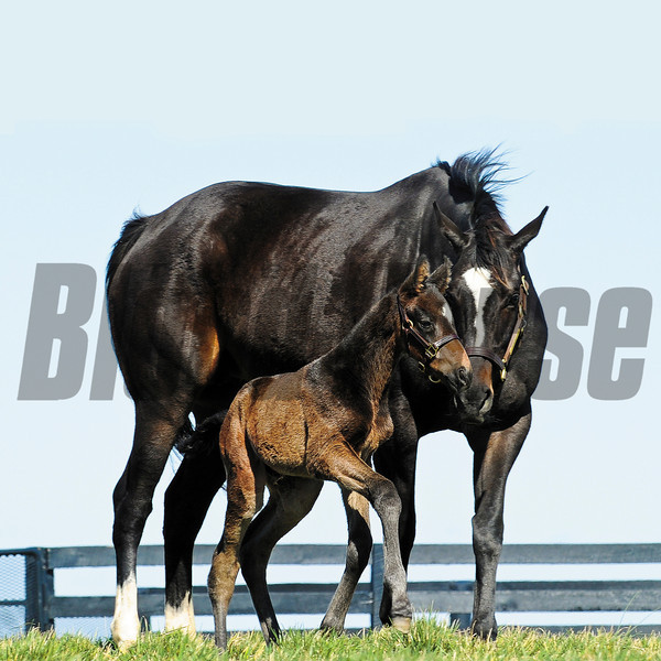 Zenyatta with her first foal delivered March 8, 2012 at Lanes End Farm, a colt by Bernardini<br /> Photo by: Mathea Kelley