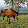 Caption: Zenyatta at Lane's End Farm, early morning on Oct. 5, 2011, near Versailles, Ky.<br /> Origs2 image387<br /> Photo by Anne M. Eberhardt