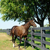 Caption: Zenyatta at Lane's End Farm, mid afternoon on Oct. 5, 2011, near Versailles, Ky.<br /> Origs3 image312<br /> Photo by Anne M. Eberhardt