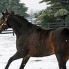 Caption: running in her paddock<br /> Zenyatta goes out to her paddock on December 20, 2010, at Lane's End Farm near Versailles, Ky.<br /> ZenyattaDec2010 Origs 3 image485<br /> Photo by Anne M. Eberhardt