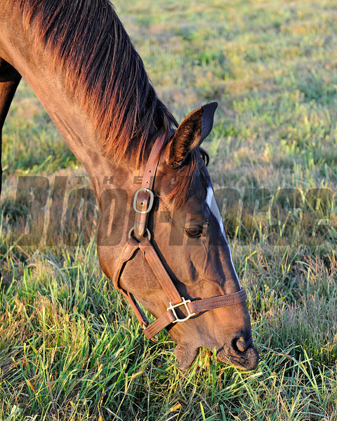 Eating grass Zenyatta at Lane's End Farm, early morning on Oct. 5, 2011, near Versailles, Ky.<br /> Photo by Anne M. Eberhardt