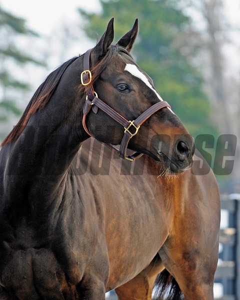 Zenyatta goes out to her paddock on December 20, 2010, at Lane's End Farm near Versailles, Ky.<br /> Photo by Anne M. Eberhardt