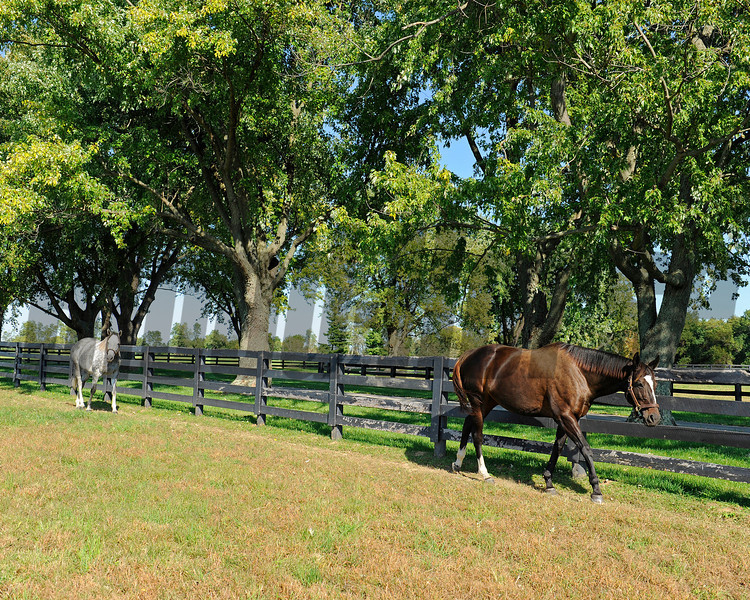 Caption: with Tasty Temptation, walking the field. Zenyatta at Lane's End Farm, mid afternoon on Oct. 5, 2011, near Versailles, Ky.<br /> Origs3 image304<br /> Photo by Anne M. Eberhardt
