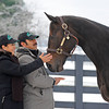 Caption: Carmen Zamona,left, and Mario Espinoza, catch up with Zenyatta. Zamona and Espinoza were Zenyatta's hotwalker and groom during her racing career.<br /> Zenyatta goes out to her paddock on December 20, 2010, at Lane's End Farm near Versailles, Ky.<br /> ZenyattaDec2010 Origs 1 image450<br /> Photo by Anne M. Eberhardt