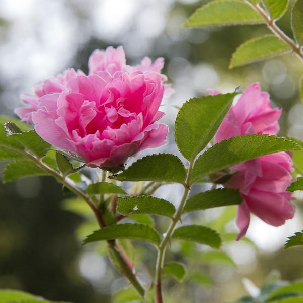 Yaddo flower
