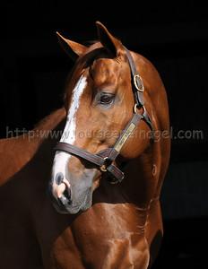 Indy King 702 Web Link: http://adenastallions.com/stallions/stallion.aspx?id=Indy_King