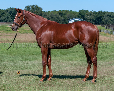 CONQUEST BANZAI ( Strut the Stage- All My Lovin 2014 colt)