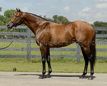 WILDCAT HEIR (Forest Wildcat - Penniless Heiress, by Pentelicus) at  Journeyman Stud