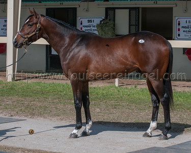 COMMANDING CURVE  at obs April 2013 2yo Sale (Master Command - Mother 2011 colt)