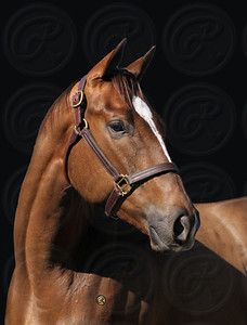 BELLE OF THE HALL at OBS Feb 2009 2yos for West Point Tbs Hip 107 Graeme Hall-Vines of Justice 2007 filly