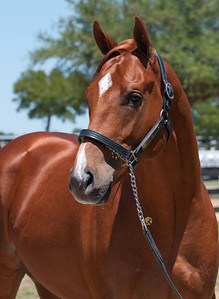 ULTIMATE EMPIRE (hip 333OBS April 2012 Utopia - Dancin On Broadway 2010 colt) head