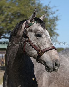 QUIET ALL AMERICAN (Forest Camp- Quiet Summernight 2007 colt) Head