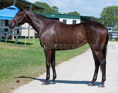 Aqua Regia ( Pollard's Vision - Phu Cat 2011 	filly)