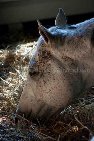 Adena Stallions, KY Macho Uno 2008