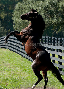 Shakespeare at Signature Stallions, Florida, moves to LANES END FARM, KY