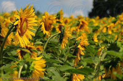 SunflowersatPM_3814wp