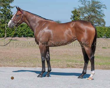 Enchanting Lady (Tale of the Cat - A. P. Baby 2012 filly )