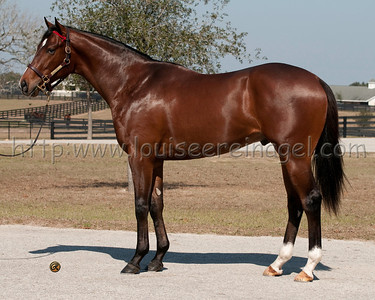 Hunt Crossing ( Corinthian - Silver Lace 2009 colt)