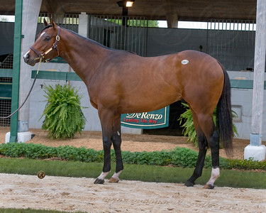 KHOZAN (Distorted Humor - Delta Princess 2012 colt ) Fasig Tipton Florida 2014  off 2015 KY Derby trail http://www.bloodhorse.com/horse-racing/articles/90506/khozan-injured-off-kentucky-derby-trail