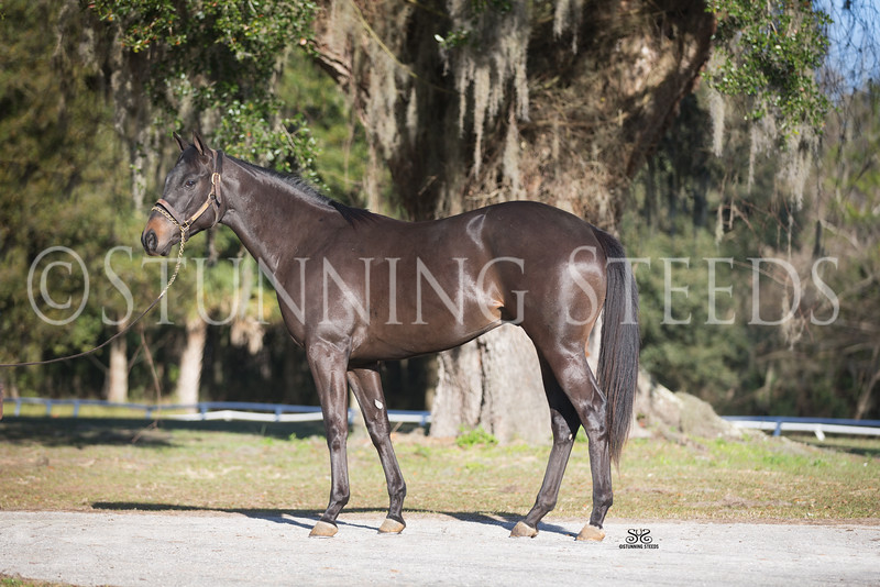 StunningSteedsPhoto-Candy Ride x Shes A Beauty Colt-HighRes