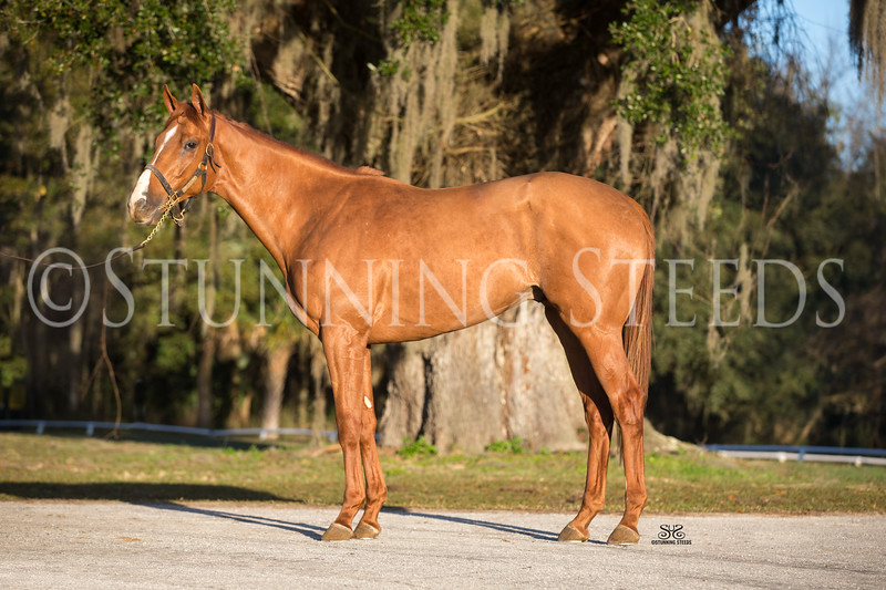 StunningSteedsPhoto-Scat Daddy x Sharp As A Whip Colt-HighRes
