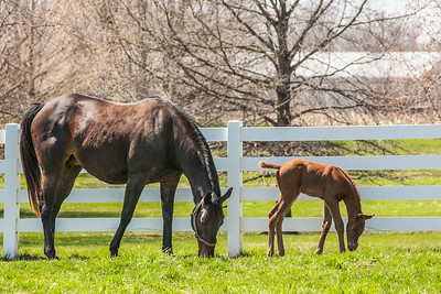 Katie The Lady and Dominus filly  4/12/2018