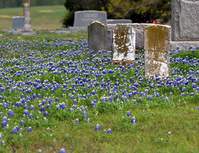 Bluebonnets at Pendleton Cemetery