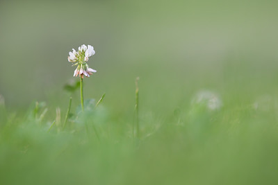 Misty Green Clover