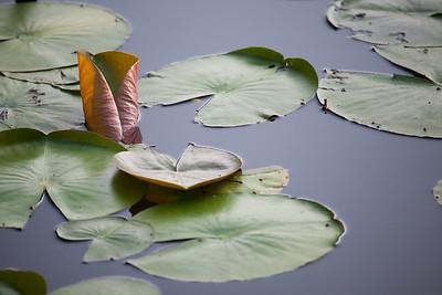 Lilies of St. John's Pond