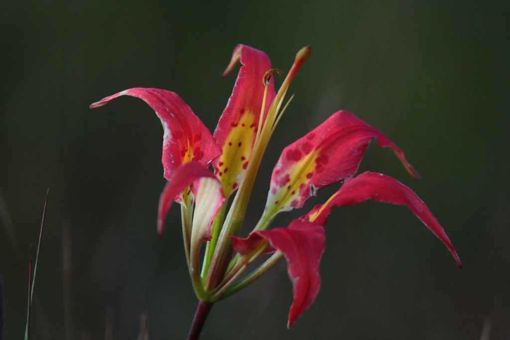 The Pine Lilly is an iconic flower of the prairie and is listed as a threatened species by the State.