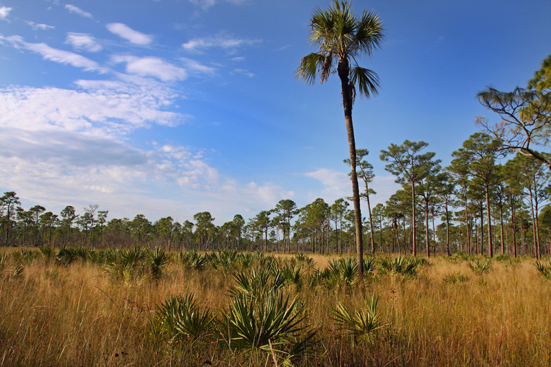 Muhly grass prairie at Florida Panther NWR<br /> <br /> Open spaces like this one are prime habitat for Florida's last remaining large mammals like the black bear and the Florida panther.  Ranches to the north of this wildlife refuge create corridors that make these smaller refuges viable habitat for wide-ranging species.