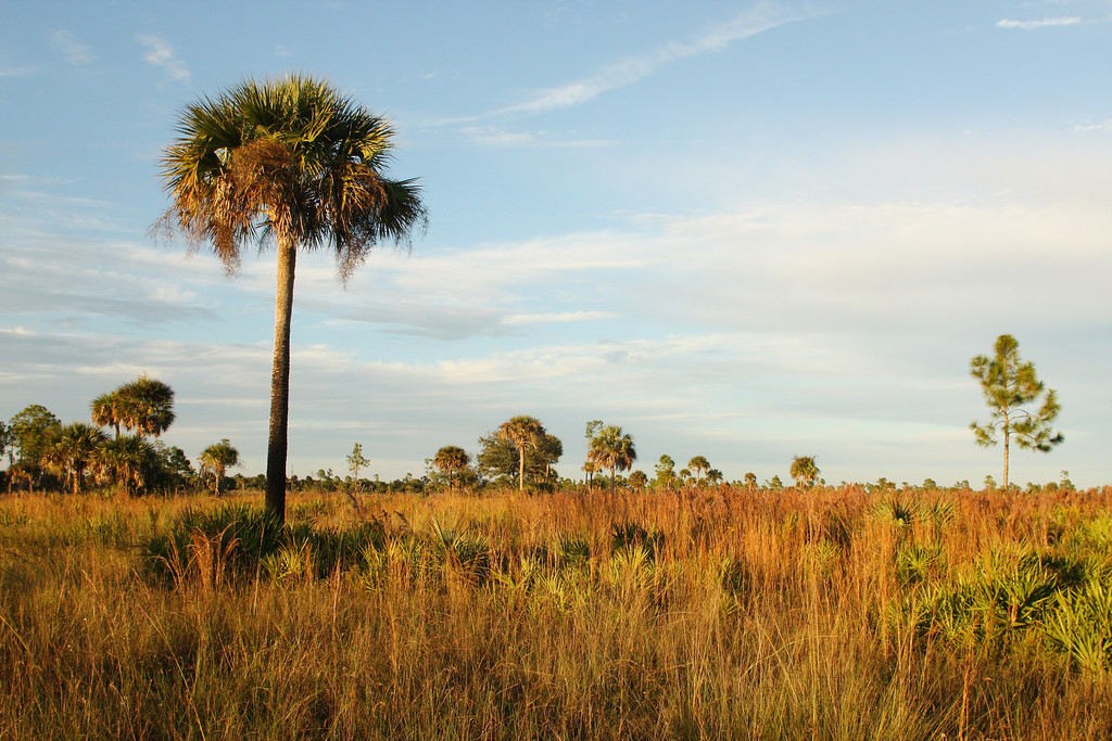 This is an example of Florida's most floristically rich ecosystem, the dry prairie.   Only relict remains exsist scattered throughout Florida.  The absence of trees allows for the biodiversity of the herbaceous plant layer to be extremely high.  Many of Florida's endangered plant species can thrive in the relatively small areas where this habitat still remains.  Good examples of the dry prairie ecosystem can be seen at Myakka State Park, Kissimmee State Park, and Ok Slough State Forest (pictured here).  Although large tracks of the ecosystem still remain in private holdings.  As ranching becomes less profitable, remaining private holdings of prairie are sold off and converted to development.  Efforts need to be made to keep these larger ranches from being lost to unsustainable development through incentive and grant programs.
