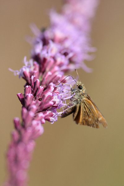Grass Skippers and a host of other butterflies and animals are intimately linked to the rich biodiversity found in the prairie.