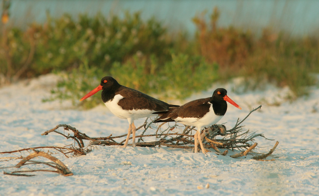 """American Oystercatchers on the nest at Ft. Desoto park in St. Petersburg.  Unfortunately, this pair was never able to successfully fledge chicks in this location due to the heavy beach traffic that this popular recreation spot receives.<br /> <br /> Article resources:<br /> 1 <a href=""""http://www.fws.gov/Endangered/wildlife.html"""">http://www.fws.gov/Endangered/wildlife.html</a>"""