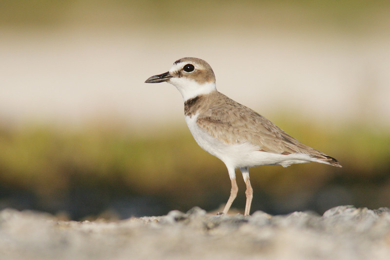 Wilson's Plovers have started to use scarafied vacant lots for nesting areas as natural breeding grounds have become harder to find due to development and sea level rise.