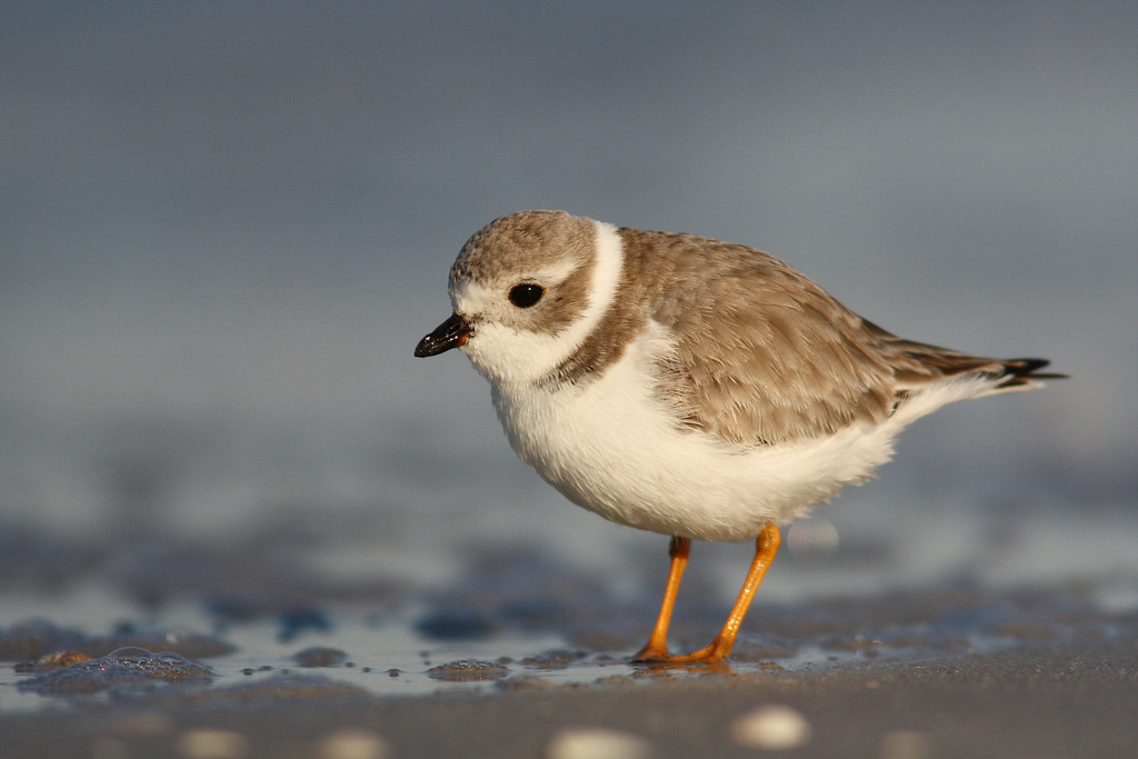 """Piping Plovers depend on mudflats, like the ones pictured here, for foraging.  They search through these """"mini tide pools"""" for small marine worms and crustaceans. Their survival depends on undisturbed sea-wall and turf grass-free stretches of beach along the Atlantic and Gulf coasts.  Piping Plovers, once common, nearly became extinct in the 19th century.  Populations have recovered relatively well in some areas, and there are estimated to be about 16, 000 nesting pairs along the Atlantic Seaboard. They escape the cold and harsh conditions of the New England winter by leaving once fall sets in and their young have fledged to spend the rest of the year in the tropics (mainly the Bahamas and the West Indies).  Like most populous coastal counties in Florida, over ninety-eight percent of coastal Pinellas is no longer suitable for a host of other rare species.    Losing critical resting and refueling areas in Florida have made the trip much longer for many types of migrating shorebirds and songbirds bound for the tropics—thus the necessity for concrete-free stretches of the beach."""