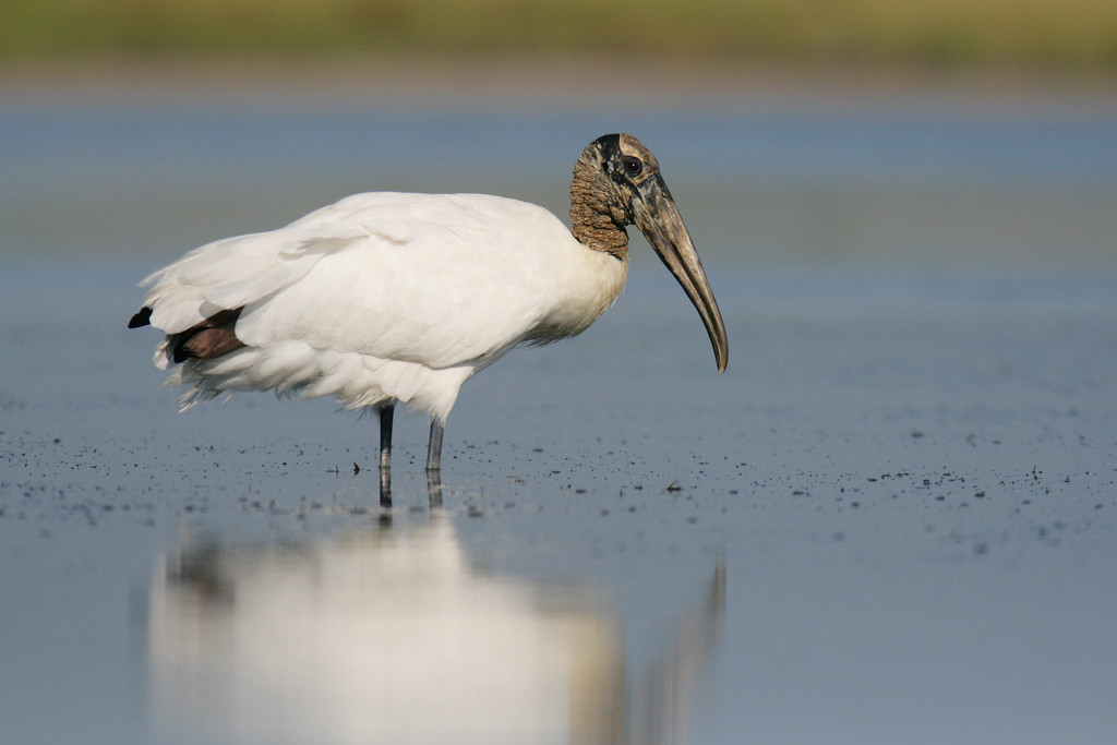 A prehistoric sight and a conservation success, the American Woodstork was near extinction in Florida when only one breeding colony remained at Audubon's Corkscrew sanctuary.  But now thanks to the efforts of biologists and law-makers populations have undertaken a dramatic rebound.