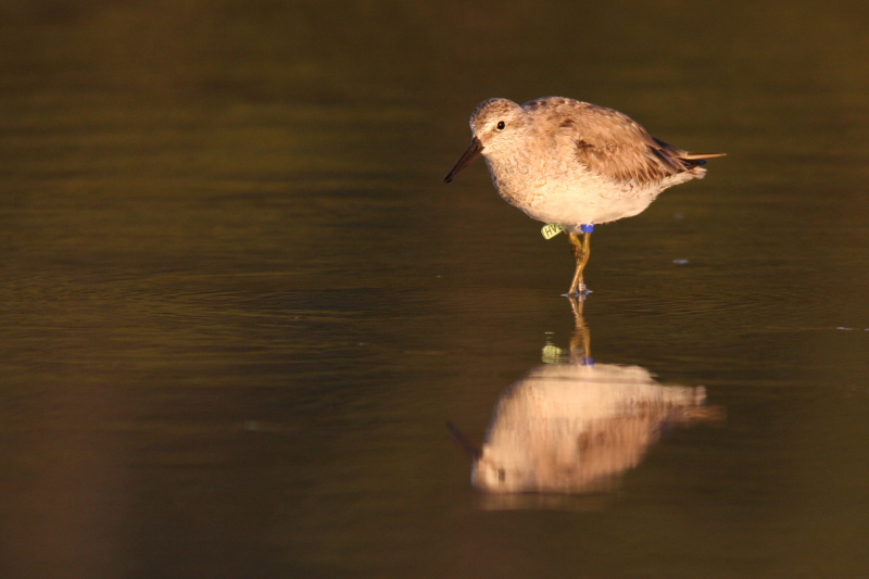"""The endangered Red Knot also depends on Florida's coastline as a winter refuge.  The bird pictured here has been banded so that its sightings can be tracked by researchers.  If you do see a banded bird you can report your sighting here: <a href=""""http://bandedbirds.org/index.html"""">http://bandedbirds.org/index.html</a>"""