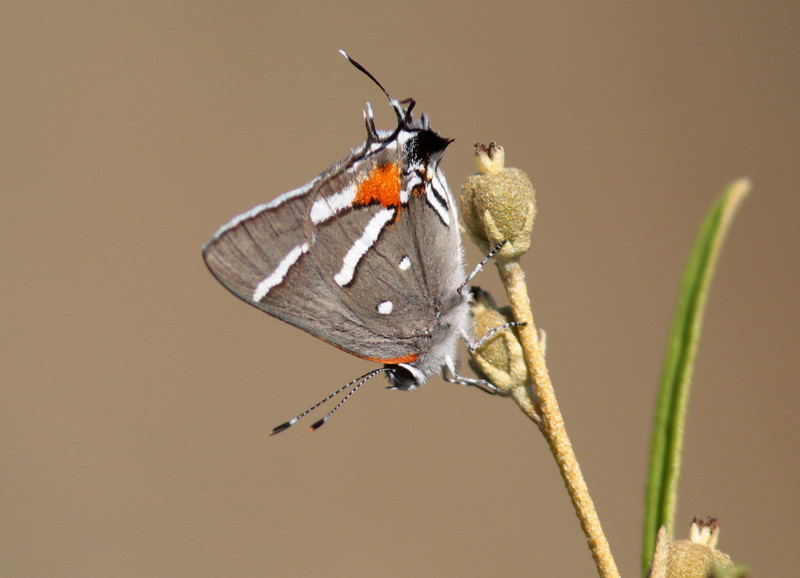 The Bartram's Hairstreak, a candidate for the endangered species list, depends on pineland croton (both seen in image) to reproduce. Croton requires sunlight which is consumed by competing shrubs when fire is suppressed from pine rocklands.  Pre and post fire monitoring are being conducted to document the response of both the hairstreak and the croton plant to prescribed fire.