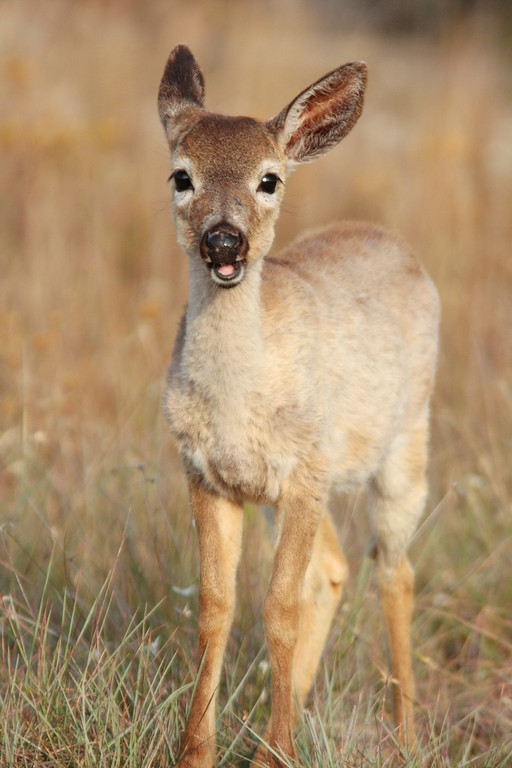 Although access to easy meals and artificial food sources has increased the population, these factors have also caused new problems such as the spread of disease.  The spread of disease becomes a bigger risk to dense populations.  The fawn pictured here has stomach worms (haemonchus contortus), which are able to be transmitted more easily when deer live in tight quarters and share food sources.  Notice in the picture to the right that the fawn has no overcoat, this is from malnutrition caused from battling the stomach worms. To date, stomach worms are mostly a problem which is confined to those neighborhoods where deer are most densely populated and is rarely seen elsewhere.<br /> <br /> Other infectious diseases such as Johne's disease plague the Key deer due to over-crowding.  Fortunately, the disease has been limited to only the southern part of Big Pine Key.  Currently research is underway to determine the true extent of the problem and identify steps that can be taken to mitigate the problem.