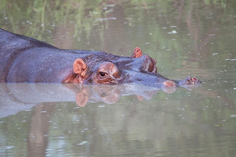 Hippo Kirkman_14-03-16__O6B2526
