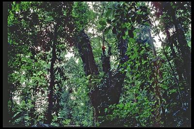 Huge Espavel (wild cashew) tree