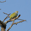 African-green Pidgeon