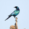 Burchells Starling