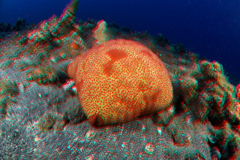 3D image of cushion star, Culcita novaeguineae, Hawaii ( Central Pacific Ocean )