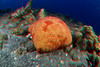 3D image of cushion star, Culcita novaeguineae, Hawaii ( Central Pacific Ocean )