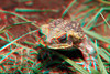 Cane toad in 3D, Hawaii