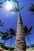 3D image of Palm tree, Kukio, Big Island, Hawaii ( Central Pacific Ocean )