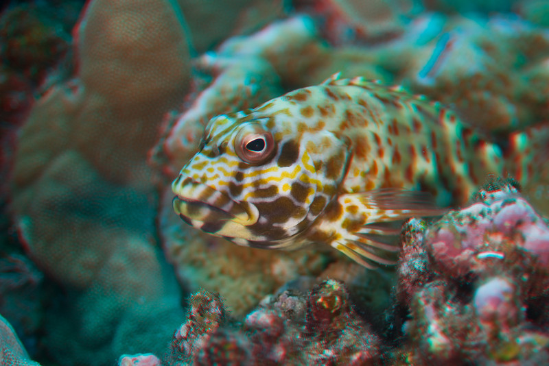 3D image of stocky hawkfish or po'opa'a (H), Cirrhitus pinnulatus, Big Island of Hawaii ( Central Pacific Ocean )